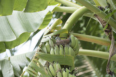 Banana plant with a bird nest Royalty Free Stock Image