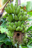 Banana plant with  bird's nest. Royalty Free Stock Photo