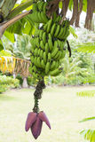Banana plant with Bloom and Fruits Royalty Free Stock Photo