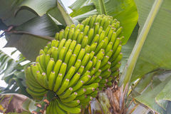 Banana plant Royalty Free Stock Image