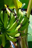 Banana plant detail Royalty Free Stock Photography