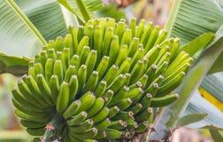 Banana plant Stock Image