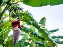 Banana plant. Banana is an edible fruit, botanically a berry, produced by several kinds of large herbaceous flowering plants in the genus musa. the fruit is stock image