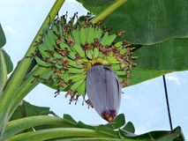 The banana plant with a flower and fruits Stock Photo