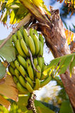 Banana Plant and Fruit Royalty Free Stock Photos