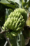 Banana plant & fruit on a Plantation, La Palma, Canary Islands, Spain Stock Photography