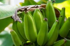 Banana plant with green bananas Royalty Free Stock Image