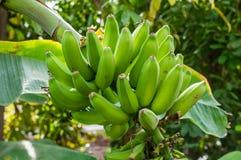 Banana plant with green bananas Stock Images