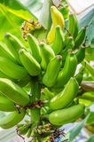 Banana plant with green bananas Royalty Free Stock Photo
