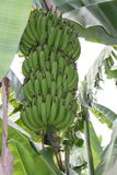 Banana plant before harvest Royalty Free Stock Image