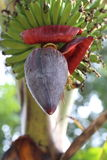 Banana Plant or plantain tree. Amazing Flowering Banana Plant or plantain tree Stock Photos