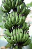 Banana plant with ripe bananas Royalty Free Stock Image