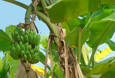 Banana plant Royalty Free Stock Photo