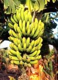 Banana plant, Tenerife. Royalty Free Stock Photos