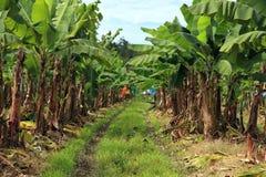 Banana plantation Royalty Free Stock Photography