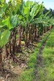 Banana plantation Stock Image