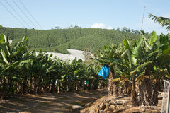 Banana plantation Royalty Free Stock Image