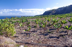 Banana plantation Stock Image