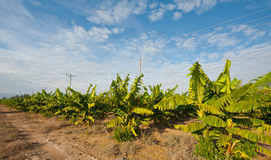 Banana Plantation Stock Photography