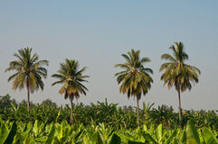 Banana plantation. Green leaves of banana trees royalty free stock image