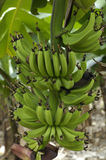 Banana plantation, Stock Image