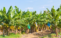 Banana plantation Australia Royalty Free Stock Images