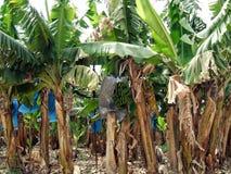 Banana plantation. banana growing in a tropical land Stock Photo