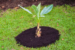 Banana plantation. Banana tree .Young banana plant. Stock Images