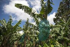 Banana plantation. Bananas are growing in the plantation Stock Photo