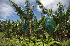 Banana plantation. Bananas are growing in the plantation Stock Photos