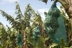 Banana plantation. Bananas are growing in the plantation Royalty Free Stock Images