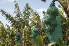 Banana plantation. Bananas are growing in the plantation Royalty Free Stock Image