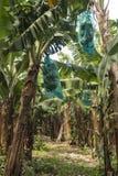 Banana plantation. Bananas are growing in the plantation Royalty Free Stock Photo