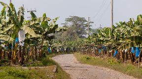 Banana plantation Royalty Free Stock Photos