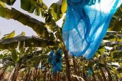 Banana plantation Royalty Free Stock Photo