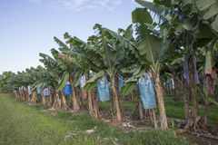 Banana Plantation Royalty Free Stock Images