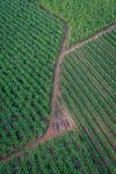 Banana plantation, Cairns Royalty Free Stock Photography