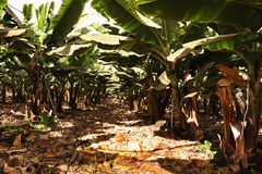 Banana plantation in the Canary Islands. Large banana plantation, with beautiful and healthy trees, and net cover, valuable local industry in Tenerife, Spain royalty free stock images