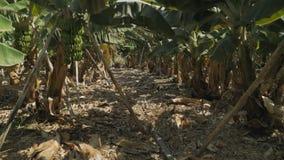 Banana plantation. Canary islands stock video