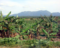 Banana Plantation, Cuba Royalty Free Stock Image