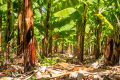 Banana plantation is East Africa Royalty Free Stock Photography