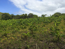Banana plantation farm. Royalty Free Stock Image