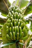 Banana Plantation Field Banana tree Royalty Free Stock Photography
