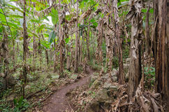 Banana plantation in the forest of mountain. Trekking pass banana plantation before to destination Royalty Free Stock Photography