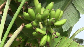 Banana plantation in The Gambia, West Africa. stock footage