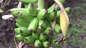 Banana plantation in The Gambia, West Africa. stock video