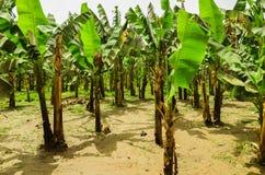 Banana plantation. Green leaves on brown trunks of banana trees Stock Images