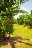 banana plantation, Guadeloupe Stock Image