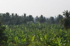 Banana plantation in Humpi city, India, Karnataka. Organic farm food production. S Royalty Free Stock Photos