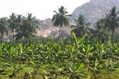 Banana plantation in Humpi city, India, Karnataka. Organic farm food production. S Royalty Free Stock Photo